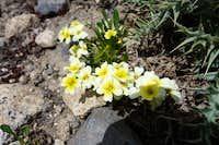 Berish, wild flower of Hindukush