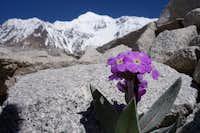 Gentian Flower1