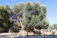 Ancient Olive Tree in Kavousi