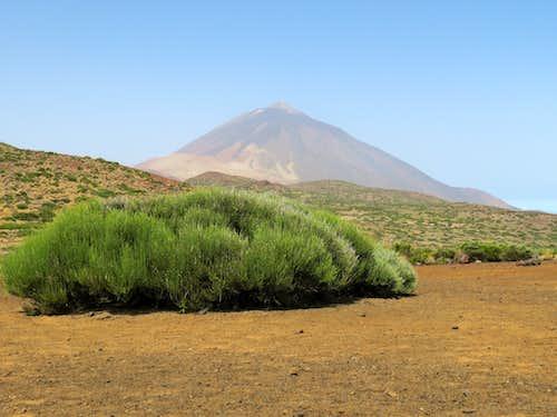 A bush and El Teide