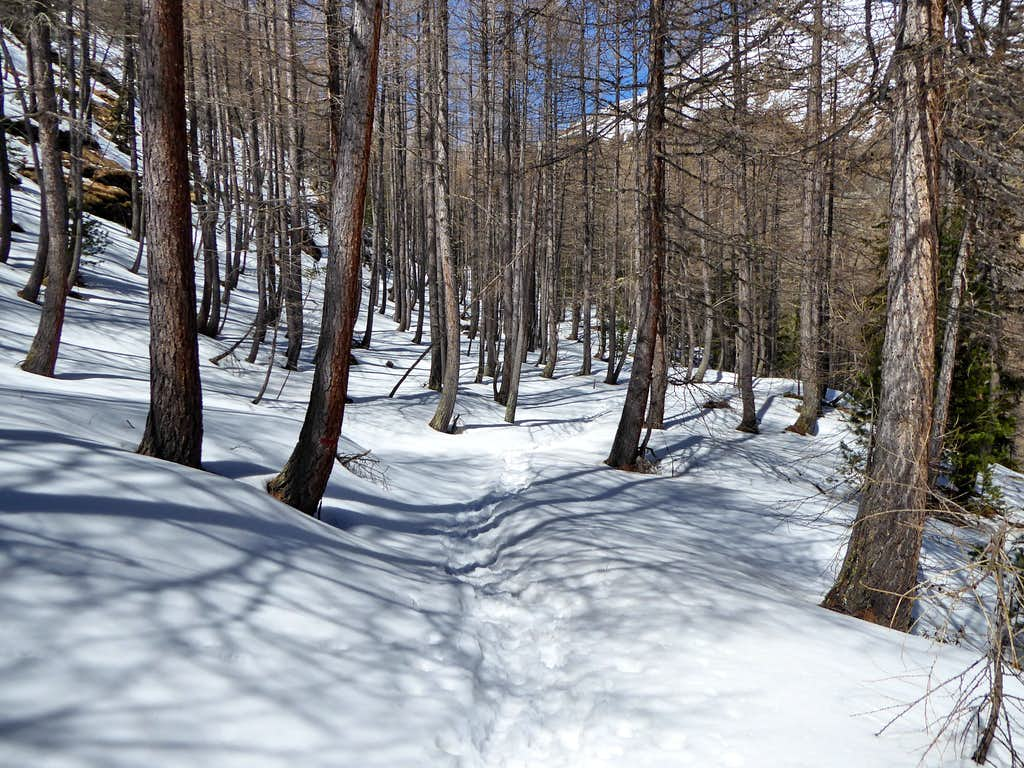 Snowy forest of larches in Vallone dell'Urtier