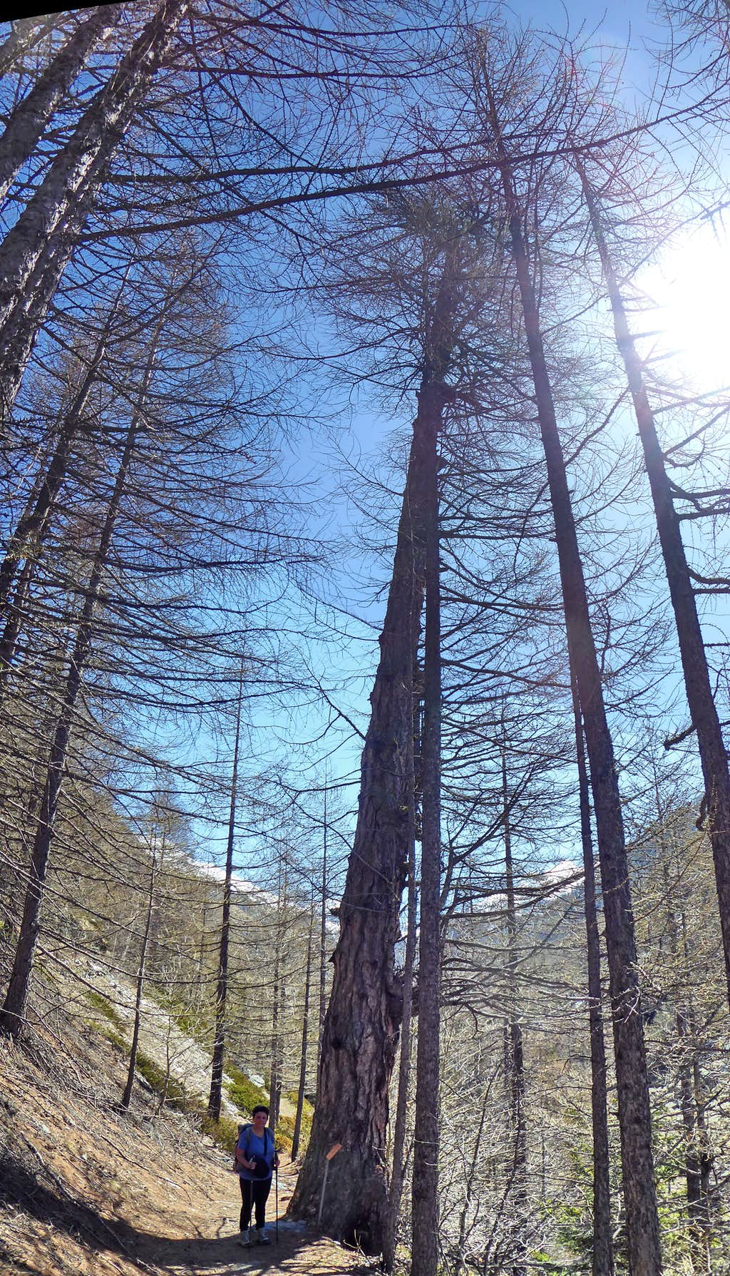 Monumental old larch at the entry of Vallone dell'Urtier