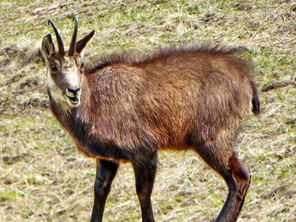 Chamois in Valnontey at Spring