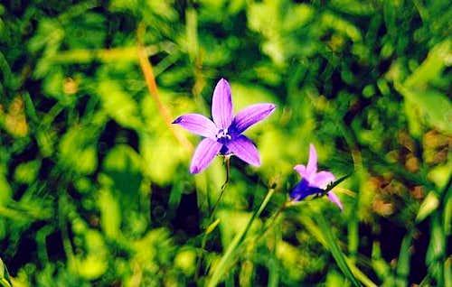 Flower  Tatra National Park...
