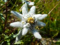 Edelweiss on the path to Dom hut