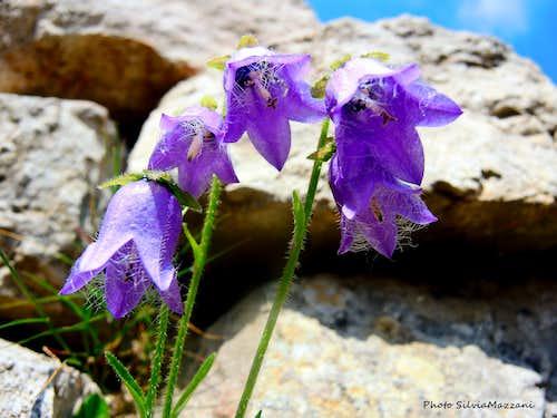 Campanula Barbata, Piccole Dolomiti