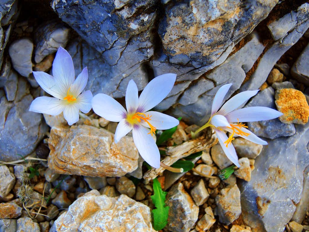 Flowers of Colchicum blooming from the stones, Profitis Ilias