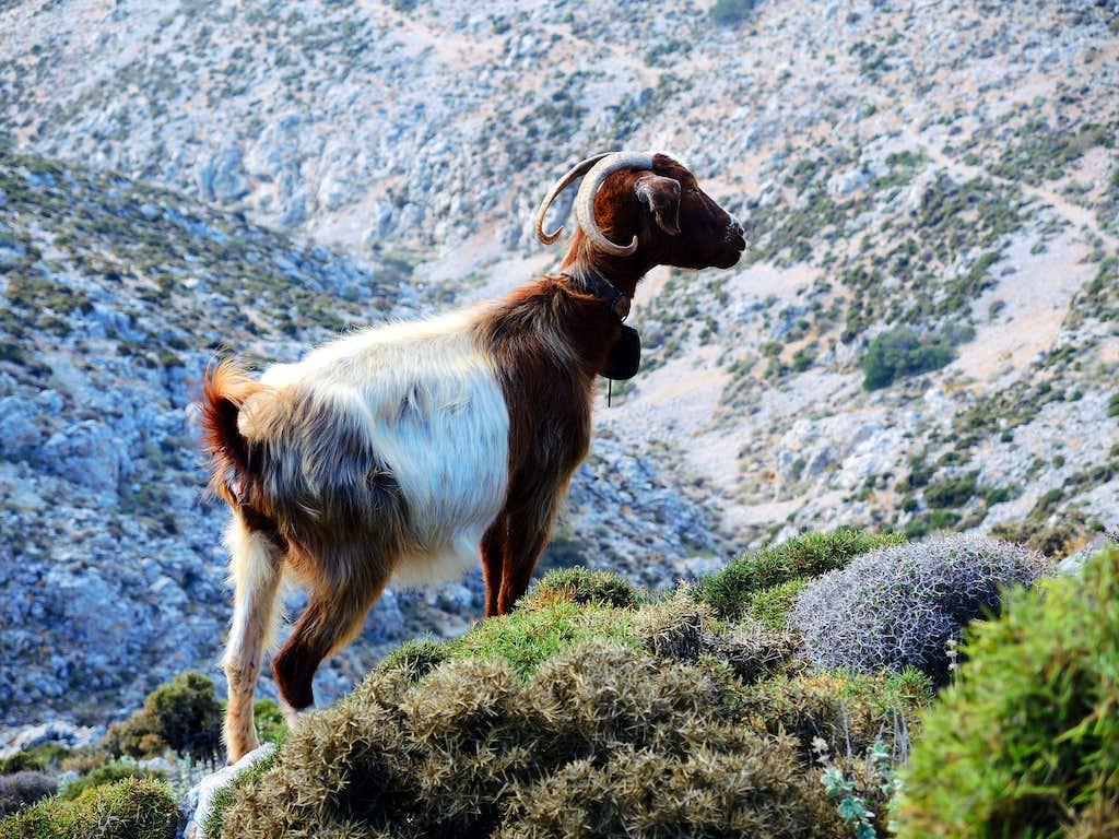 Goat on the path to Profitis Ilias, Kalymnos