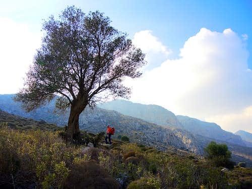 Century-old olive tree on the slopes of Profitis Ilias