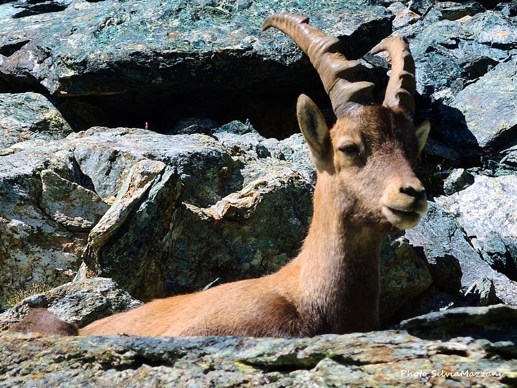 Ibex at rest above Col Fussy, Mont Glacier