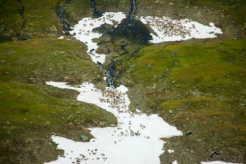 Reindeers over Guohpervagge