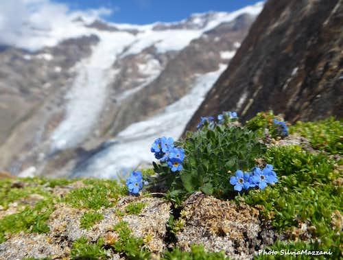 Eritrichium Nanum, Alta Luce (Monte Rosa)