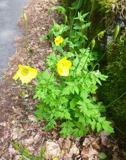 34. A Welsh Poppy
