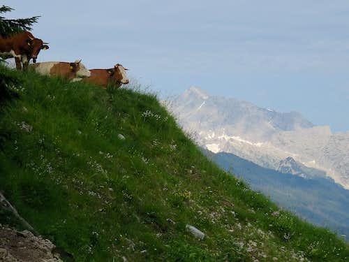 A German cows