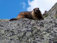 Marmot on Bierstadt