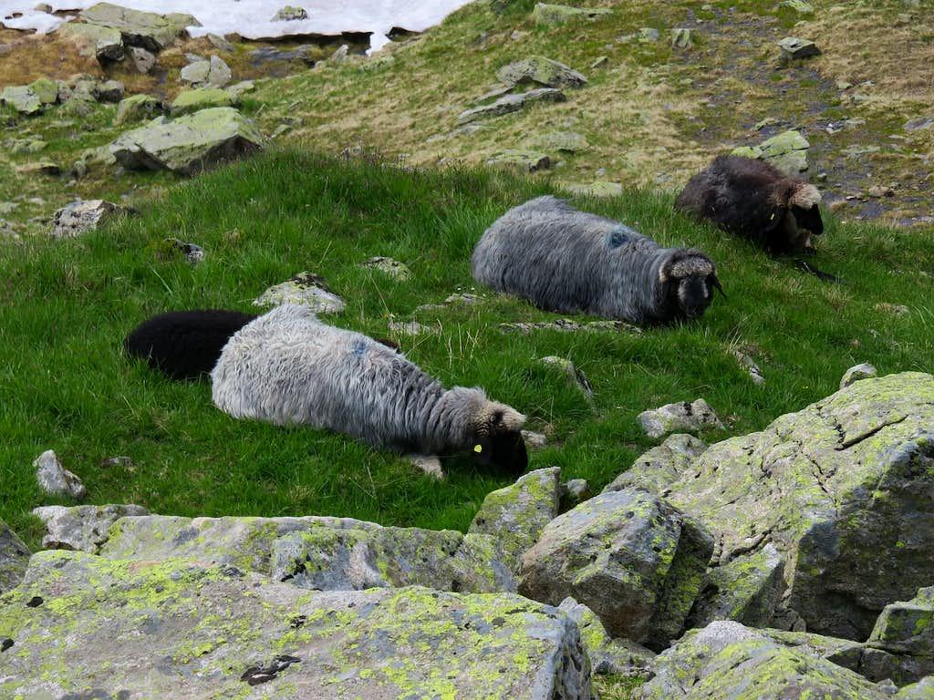 Sleeping sheeps