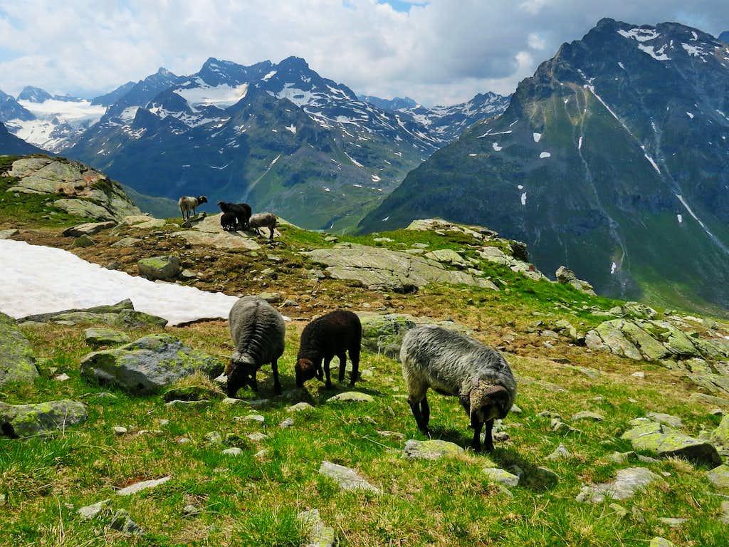 Sheeps at Bielerkopf