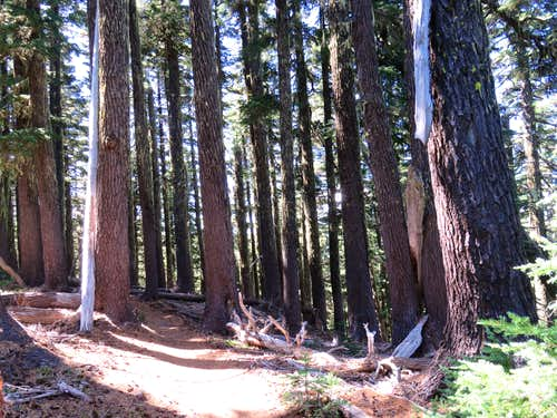 Big pines on the trail