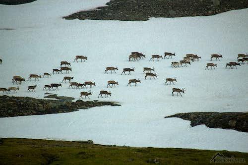 Reindeers on Sorjasjaure