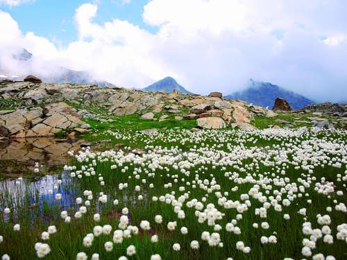 Enchantment of nature, blooming of Eriophorum Scheuchzeri on the approach to Alta Luce