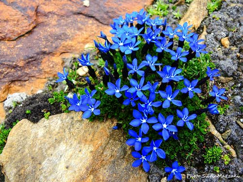 Enchantment of nature, blooming of Gentiana Verna on the approach to Alta Luce