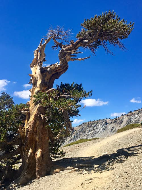 Mt Baldy Tree