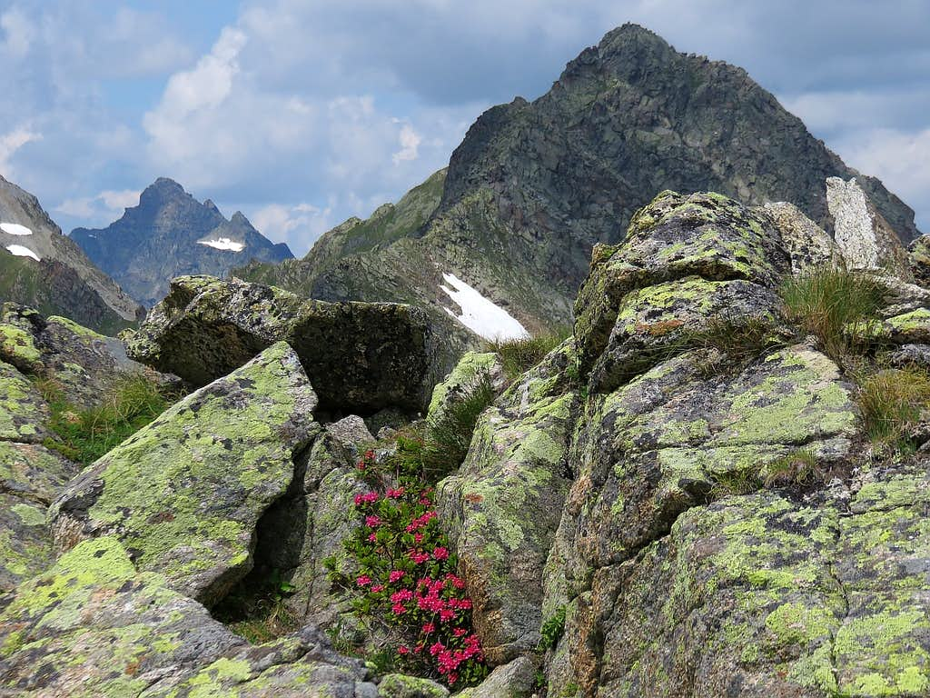 Rhododendrons at summit of Bielerspitze