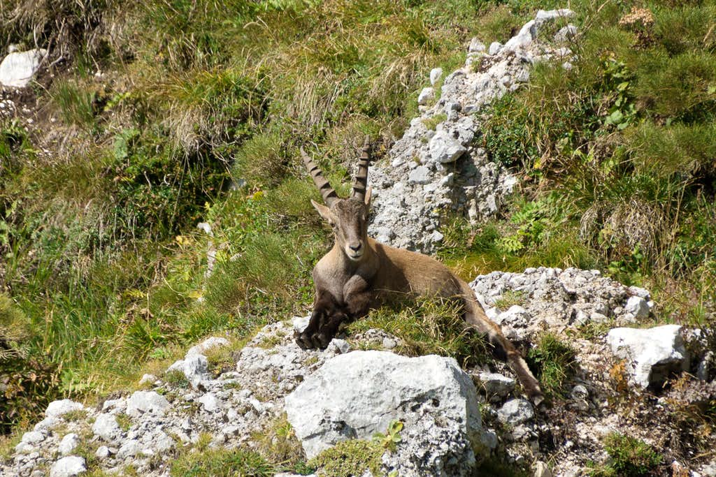 The first Ibex