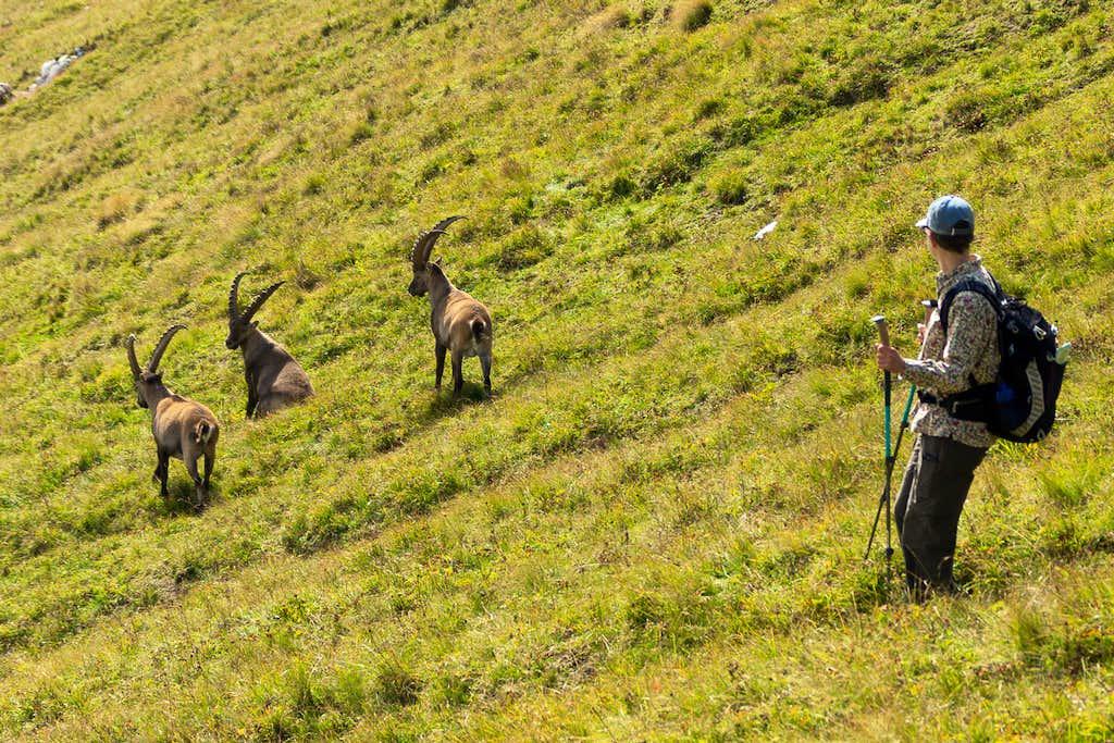 Hiking through the ibex herd