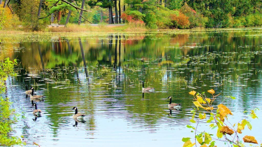 Geese at Brauns Bay