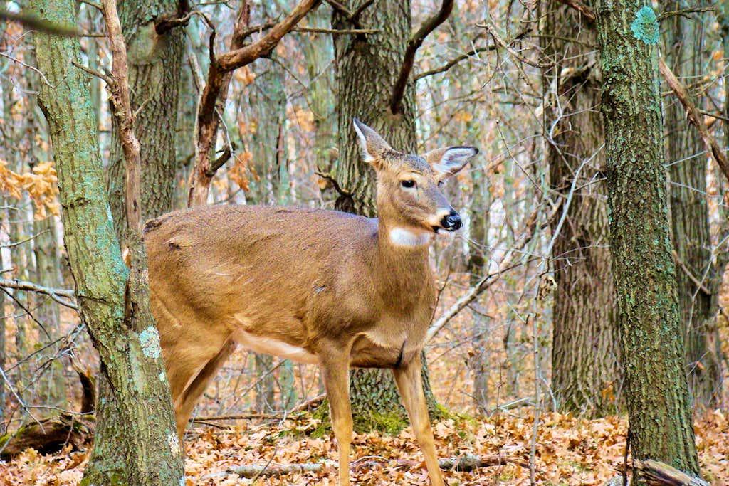 A Curious Deer on Mt. Simon