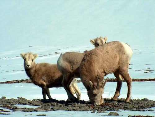 Mountain Sheep are a Common...