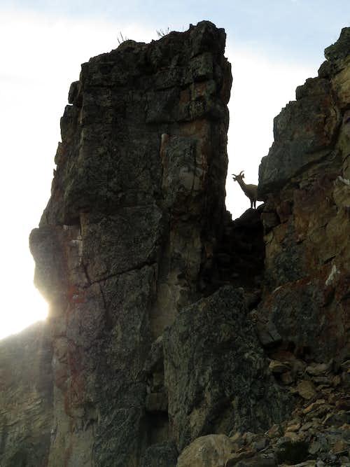 Bighorn sheep on Windy Point Ridge