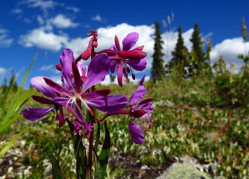 Fireweed on Powderface Ridge