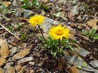 Golden fleabane on Powderface Ridge
