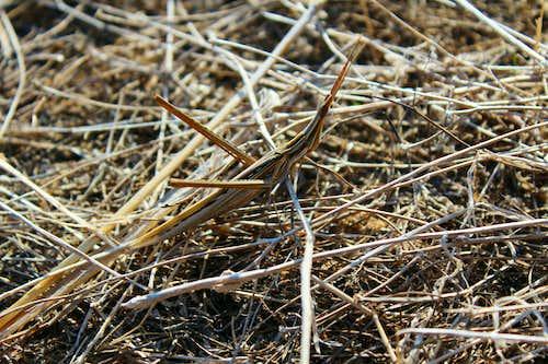 Cone headed Grasshopper (Acrida Ungarica)