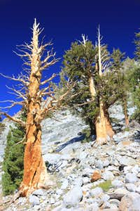 Gnarly trees in Kings Canyon N.P.