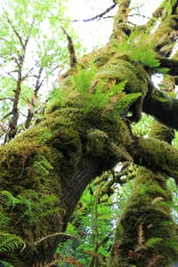 Mossy tree in Tall Trees Grove (Redwood N.P.)