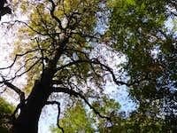 Majestic holm oak tree, Bosco Caproni
