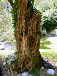Cork tree, Bosco Caproni