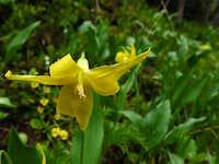 Glacier lily in Arethusa Cirque