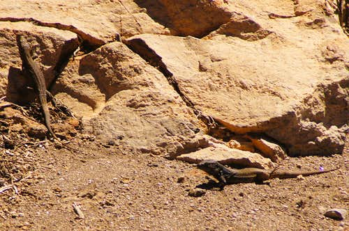 Tenerife lizards