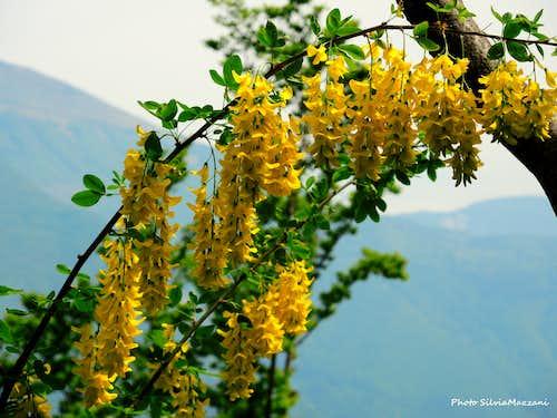 Maggiociondolo (Laburnum anagyroides), Monte Biaina