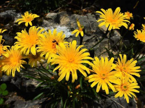 Hieracium, Monte Biaina