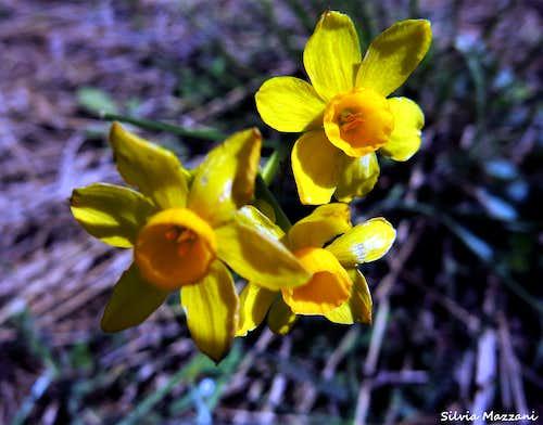 Narcissus jonquilla, S.te Victoire