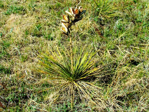 A Yucca Plant
