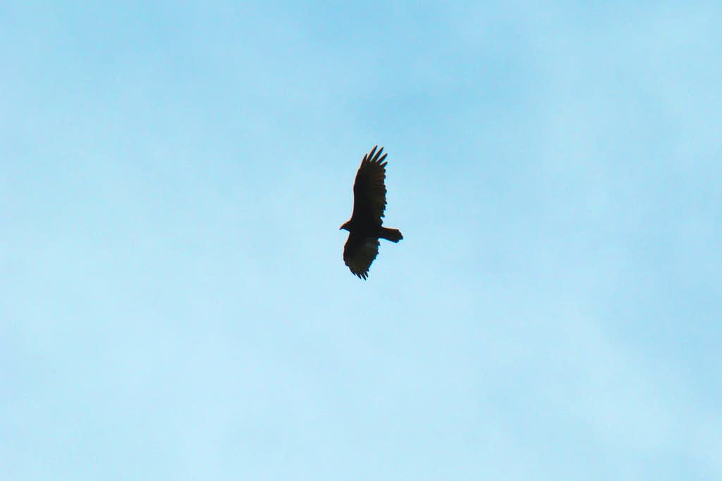 Soaring Hawk over Spring Canyon
