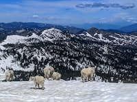 Herd of Mt Goats