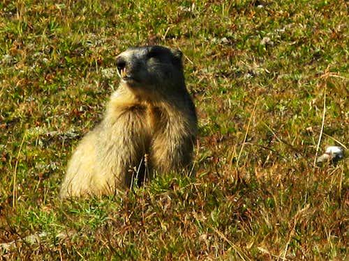Marmot near La Taillante
