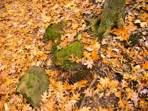 Oak Leaves Carpet a Wisconsin Forest Floor